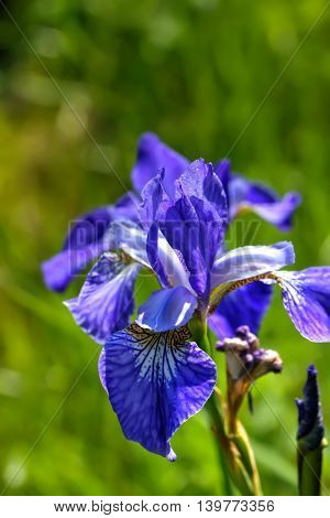 The blossoming blue iris growing on a summer meadow.