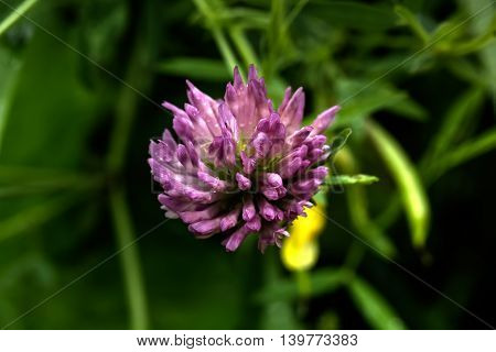 The blossoming clover growing on a summer meadow.