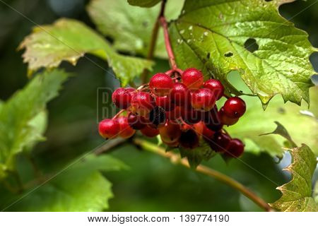 The ripe berries of a guelder-rose growing in the summer wood.