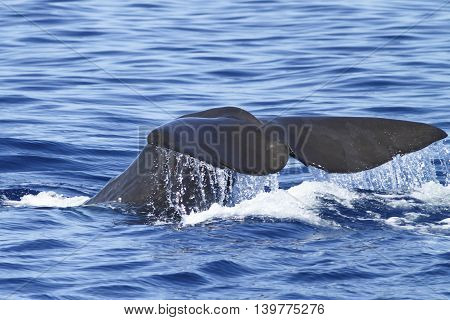Sperm whale diving and splashing near Azores archipelago