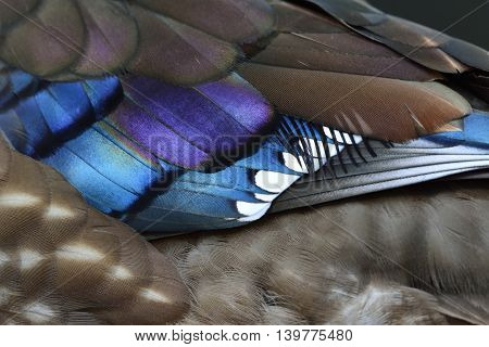 Corlorful Feathers Of Mandarin Duck (aix Galericulata) An Exotic And Colorful Bird