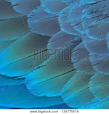 Exotic and fine texture of Blue and Gold Macaw bird's feathers the beautiful blue and yellow background