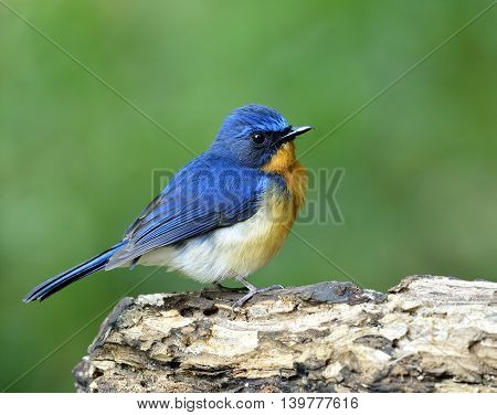 Lovely Puffy Blue And Orange Breast Bird, Hill Blue Flycatcher (cyornis Banyumas) Standing On The Wo