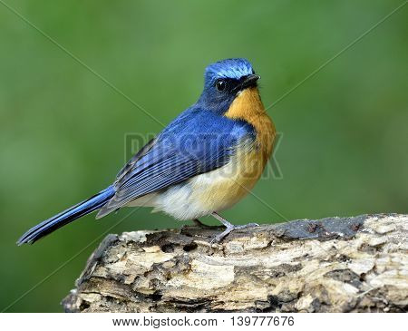 Lovely Puffy Blue Bird, Hill Blue Flycatcher (cyornis Banyumas) Standing On The Log With Green Blur