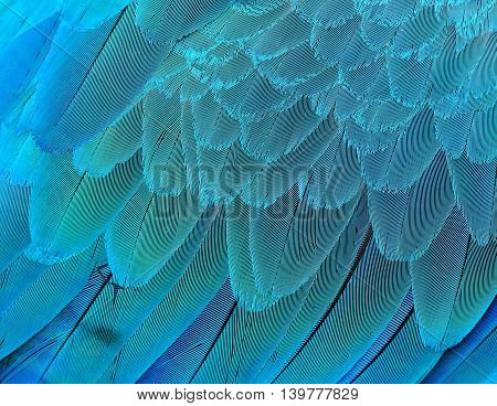 Magnificent texture of Blue and Gold Macaw bird's feathers beautiful blue background