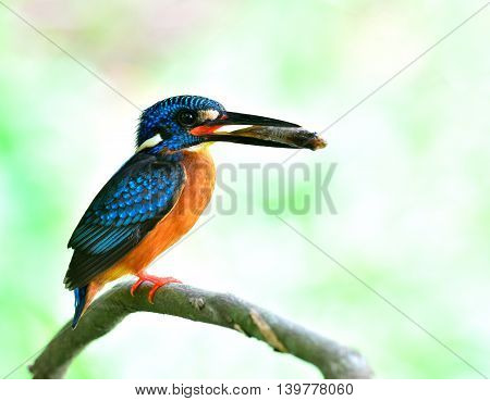 Male Of Blue-eared Kingfisher (alcedo Meninting) Picking Fish In His Bills While Waiting To Feed Its