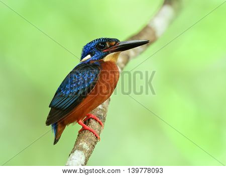 Male Of Blue-eared Kingfisher (alcedo Meninting) Sitting On The Branch In Front Of His Nest Hole Wai