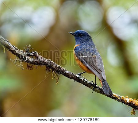 Male Of Blue-fronted Redstart (phoenicurus Frontalis) Perching On The Branch Showing Its Beautiful B