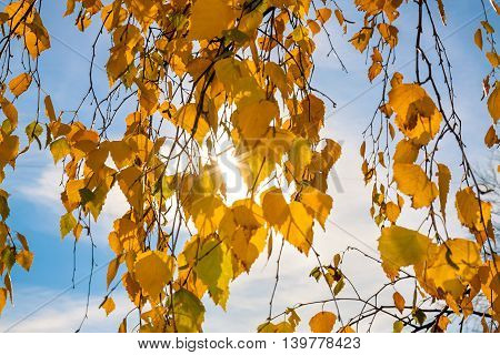 yellow autumn leaves on a tree in sun beams close up