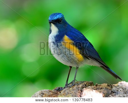 Male Of Himalayan Bluetail (tarsiger Rufilatus) The Beautiful And Cute Blue Bird Standing On The Woo