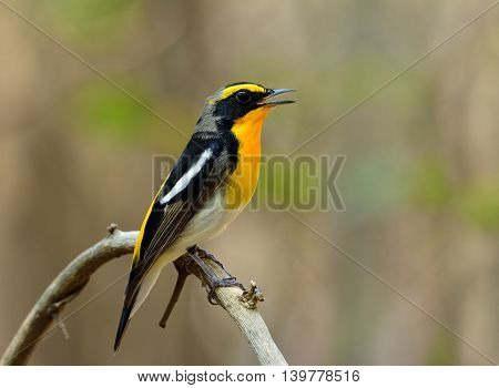 Male Of Narcissus Flycatcher (ficedula Zanthopygia) The Beautiful Yellow With Black And Grey Color P