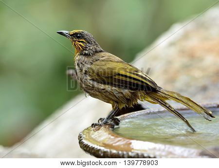The Stripe-throated Bulbul (pycnonotus Finlaysoni) The Beautiful Yellow And Brown Bird Staning On Th