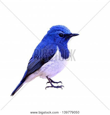 Ultramarine Flycatcher (ficedula Superciliaris) Or White-browed Flycatcher, The Beautiful Chubby Blu