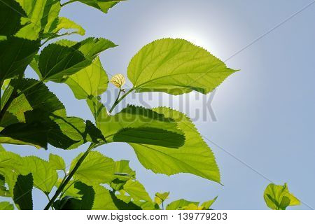 mulberry leaf againt to the blue sky