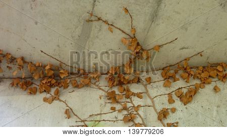 Dry Ivy Leaves On A Concrete Wall