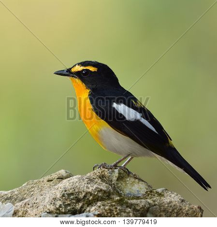 Yellow-rumped Flycatcher (ficedula Zanthopygia) The Beautiful Yellow Bird Perching On Top Of The Roc