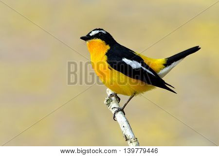 Yellow-rumped Flycatcher (ficedula Zanthopygia) The Beautiful Yellow Bird With Black Wings And White
