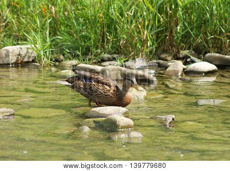 mallard duck walking on the stones in the shallow river