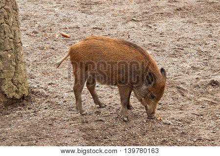 Wild Boar piglet in Skansen, Stockholm, Sweden