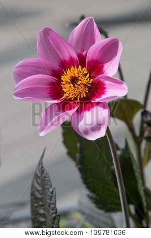 One Dahlia Blossom, Pink And Yellow