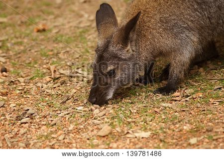 Close up Red - necked Wallaby (Macropus rufogriseus)