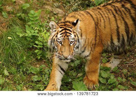 Amur tiger -  ( Panthera tigris altaica )