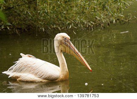 Great white pelican (pelecanus onocrotalus) swimming on water