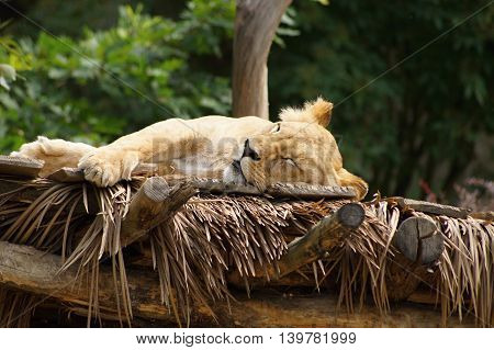 Lioness sleeping on the roof - Southwest African lion