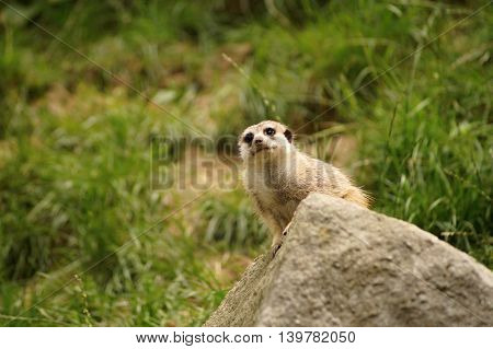 Suricate or meerkat (Suricata suricatta) standing on guard