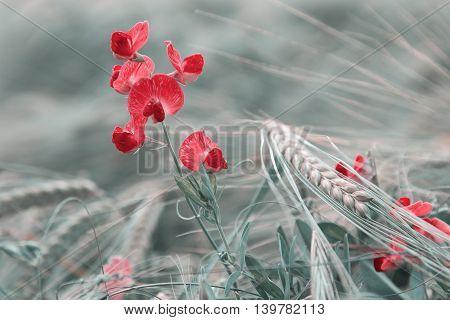 Common Vetch In The Grain Field, Red Toned