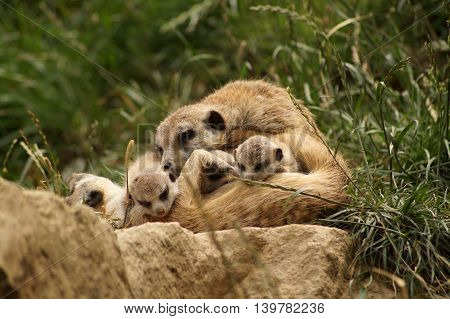 Meerkat - Mother with her babies (Suricata suricatta)