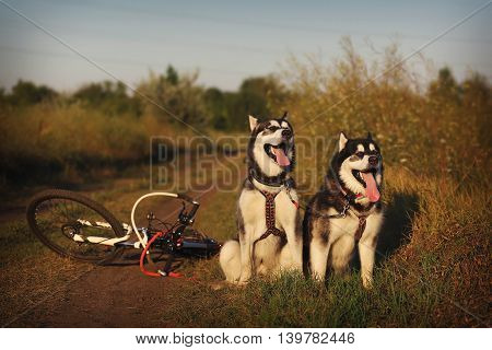 Dog sled. Two Malamute in harness with the bike.