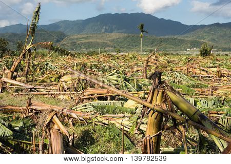 Banana tree destroyed after a typhoon in Taiwan, Asia.