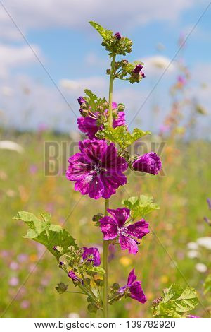 Wildflower High Mallow In The Meadow