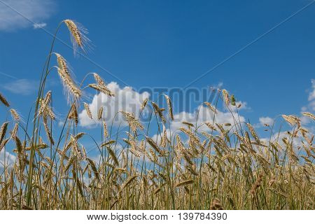 Wheat Field With Ripe Ears, Blue Cloudy Sky