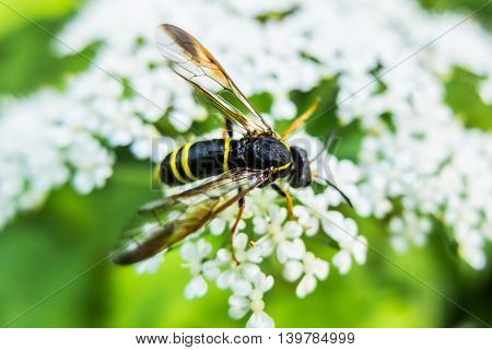 Wasp on flower eating nectar, insect with yellow and black abdomen and a sting. The world wildlife stinging insects.