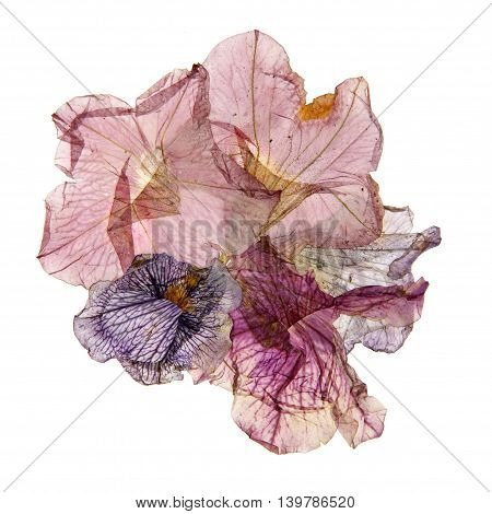 application of dried pressed colorful petunias flower art