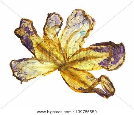 application of dried pressed motley multicolored iris