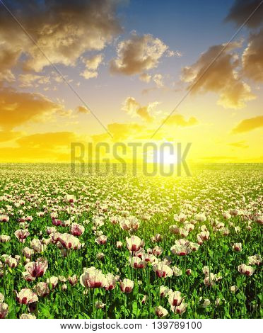 Blooming poppy field at sunset sky. Summer landscape.