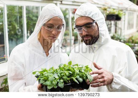 Male and female coworkers in clean suit examining potted plants outside greenhouse