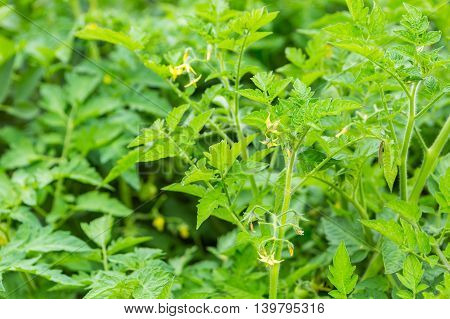 Green Bush Of Tomato Growing In Garden
