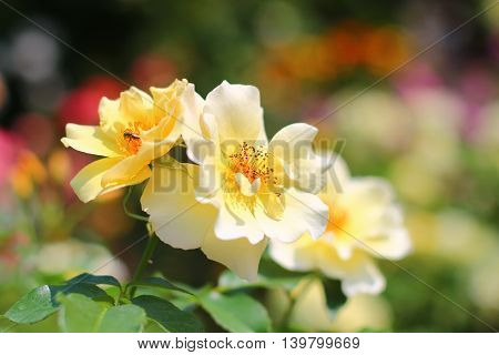 Yellow fairy rose or pygmy rose flowers in the garden