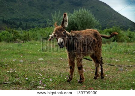 Young donkey on the green meadow against mountains