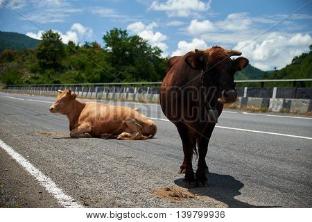 Two cows in the middle of the highway Georgia