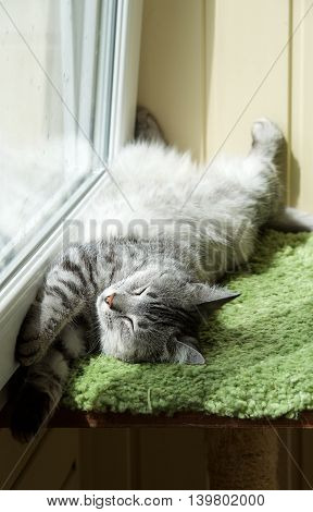 Humorous photo of grey cat sleeping in terrace, sleepy cat, domestic kitten, closed eyes, funny lazy dreaming cat