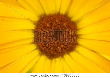 yellow petals and stamens daisy close-up top view