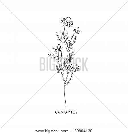 Camomile Medical Herb Hand Drawn Realistic Detailed Sketch In Beautiful Classic Herbarium Style On White Background