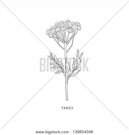 Tansy Medical Herb Hand Drawn Realistic Detailed Sketch In Beautiful Classic Herbarium Style On White Background