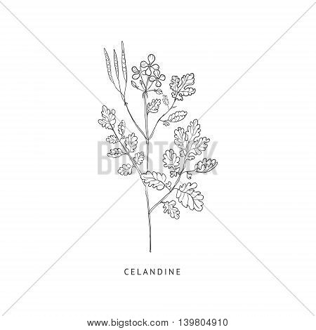 Celandine Medical Herb Hand Drawn Realistic Detailed Sketch In Beautiful Classic Herbarium Style On White Background