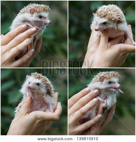 set. hedgehog in female hands on nature